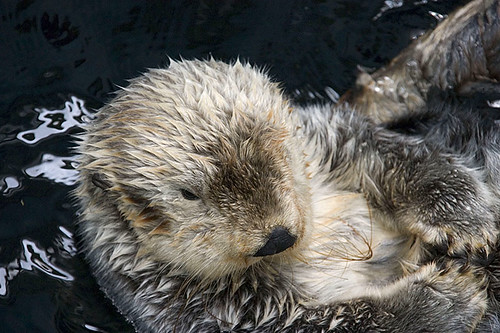 Sea Otter (Enhydra lutris) in British Columbia, Canada