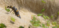 black and orange larva among a cluster of aphids