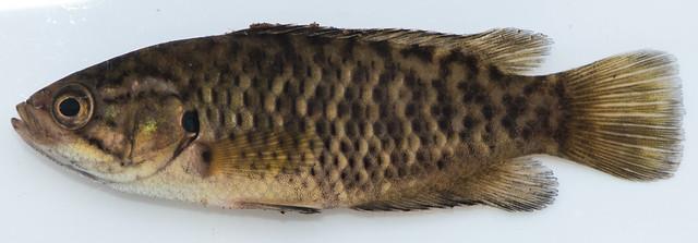Sandelia capensis