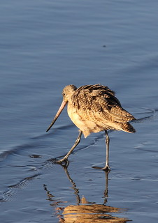 Marbled godwit, Limosa fedoa, Moss Landing (Elkhorn Slough and beach), California, USA. | by Derek Keats