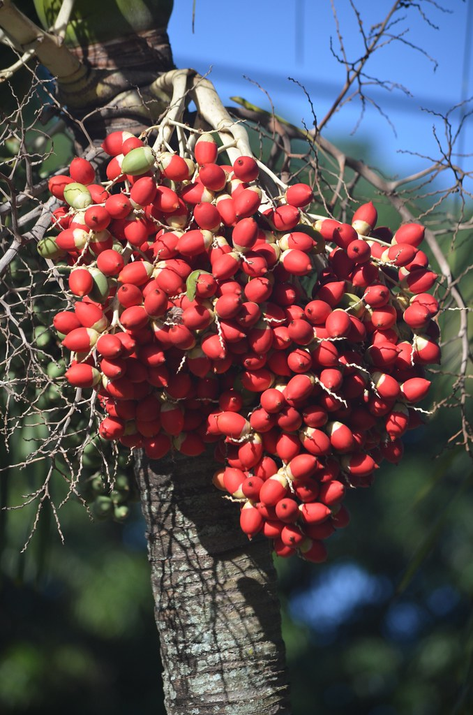 Christmas Palm Tree Seeds.Christmas Palm Seeds Right On Schedule Www Susanfordcolli