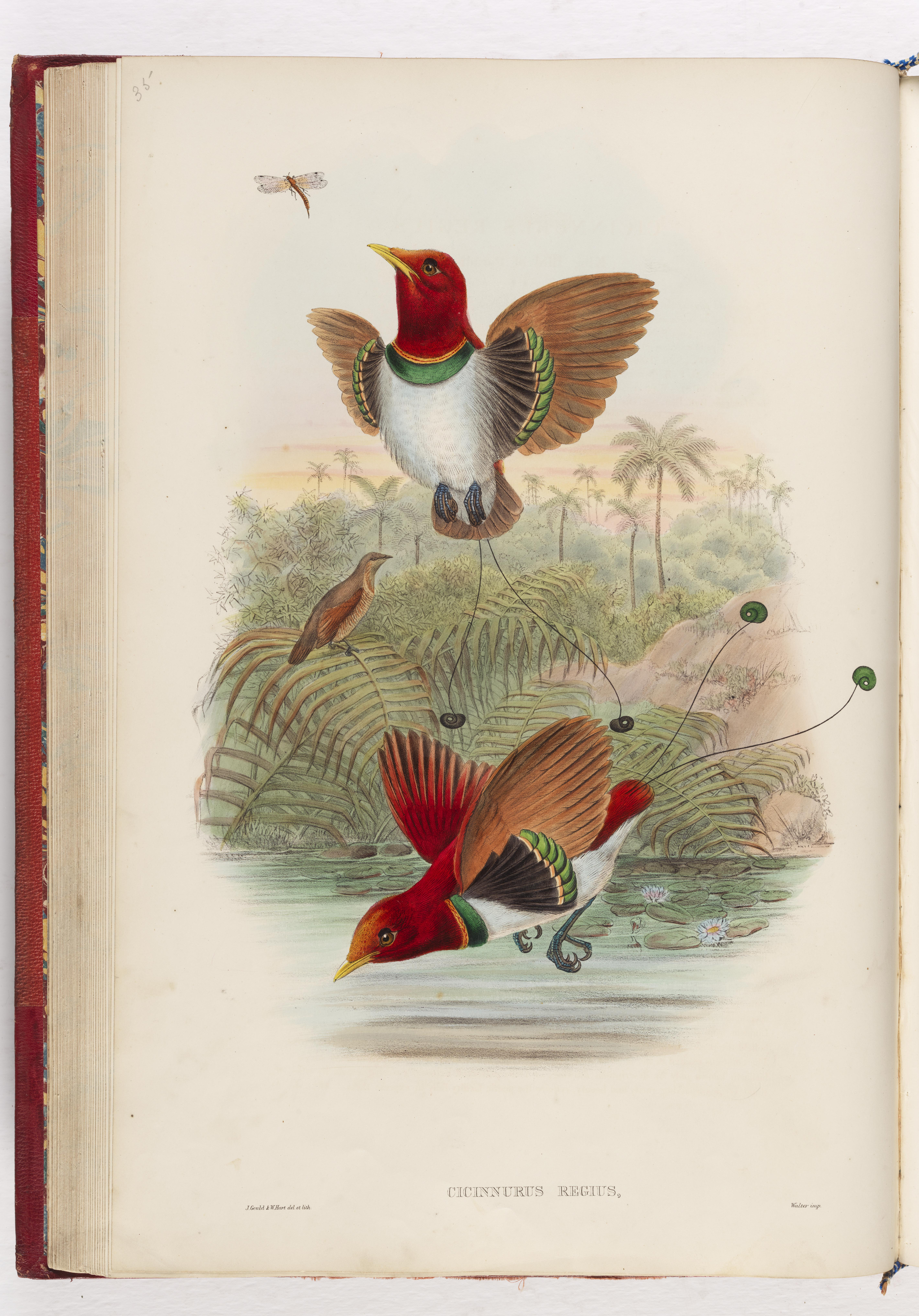 Cicimurus regius, King Bird of Paradise from John Gould's the Birds of New Guinea and the adjacent Papuan islands, London, 1875-1888