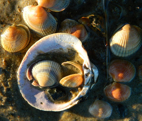 shell shells mollusk mollusks gold sand water light sunsetlight goldenlight treasure myfavoritethings wet beaches newzealand aotearoa nz outside outdoor nikoncoolpixl120 holiday beauty nature beach beachtreasure beachtreasures seashells seashell snorklesuzsuzanne