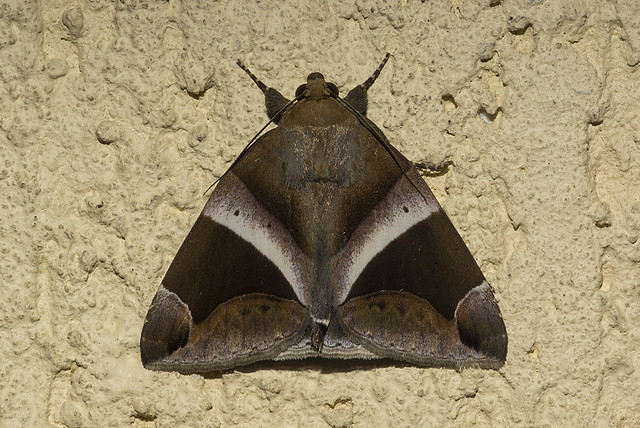 Dysgonia expediens (Erebidae, Ophiusini)