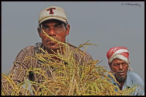 khanbari kalaborpur migrantworkers migrantworker portrait closeup bangladesh bengali sylhetregion rice ricefields ricecrops faces face riceharvest nabiganj