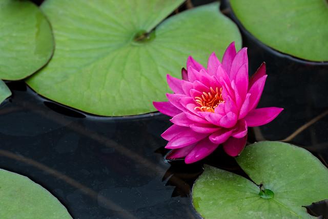 Japanese Garden Lily