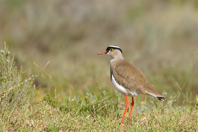 Crowned Lapwing in Eastern Cape, South Africa