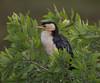 Little Pied Cormorant (Phalacrocorax varius) (60 centimetres).01 by Geoff Whalan