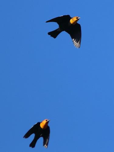 Yellow-headed Blackbirds 20161103