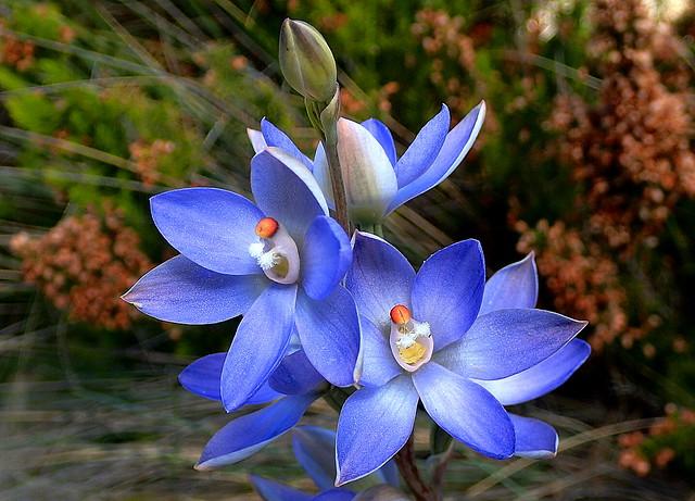 MADONNA Sun Orchids
