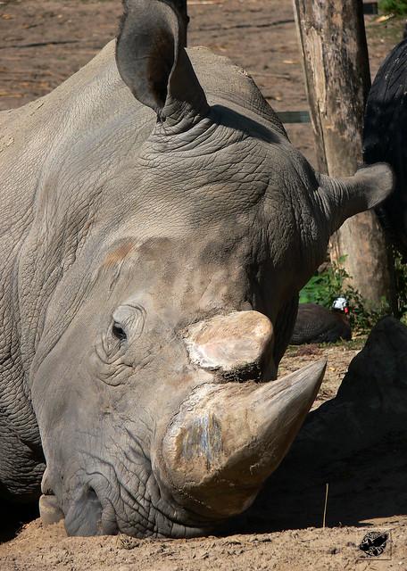 Szélesszájú orrszarvú - Square-lipped rhinoceros