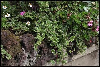 Plectranthus coleoïdes = madagascariensis variegata | by Neira Magic'B