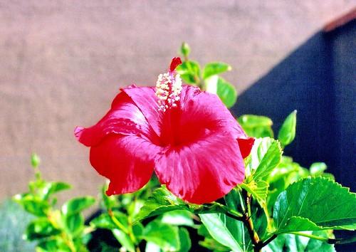 flowers arizona usa canon az hibiscus buckeye canoneos3 canonef50mmf14usmlens wonderfulworldofflowers exceptionalflowers kodak200isocolorprintfilm bwfpro58mm010uvhaze1xmrcfilter