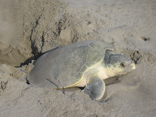 turtle laying eggs 001   by saveloraturtles