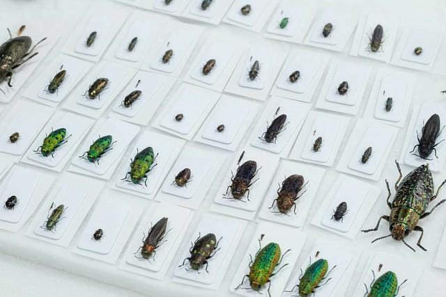 今年分の県産タマムシ箱つくろ  #insect #specimen #coleoptera #jewelbeetle #beetles #buprestidae #insects #collection