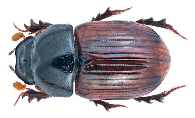 Aphodius fimetarius (Linné, 1758) male