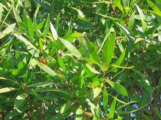 Persoonia conjucta 1