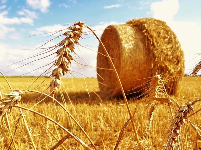 Champs de blé après la moisson