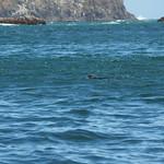 Mo, 02.11.15 - 12:52 - Pinguinera Islote de Piñihuil