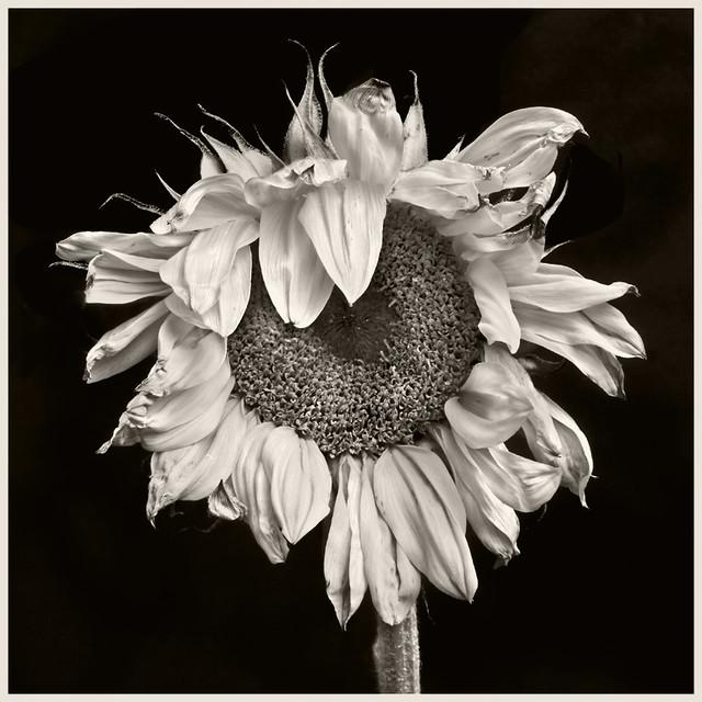 Sunflowers 2016 #18