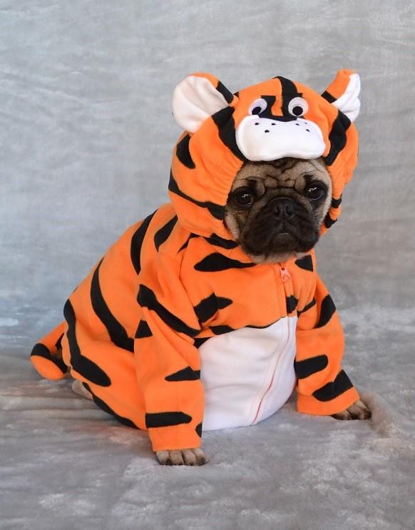 c0f1b0593dd Boo the tiger pug boo the pug dapuglet flickr jpg 582x743 Boo the tiger
