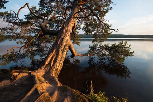 sunset summer lake seascape tree nature water landscape evening nikon sundown sweden outdoor august late fx leaning dalarna vr sommar d800 augusti siljan 1635 sidelit 2015 1635mm leksand davidolsson 1635vr leksandstrand