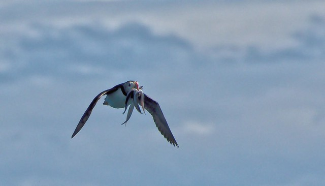 Macareux  moine  --------- Atlantic puffin  --------  Fratercula arctica