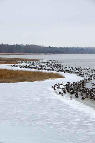 loisholecentennialprovincialpark stalberta canadageese water canada alberta snow sturgeoncounty ice