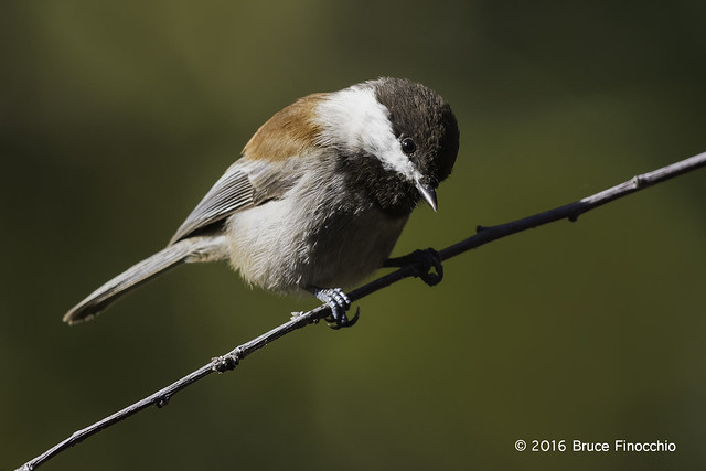 Chestnut-backed Chickadee Looks Down From Perch