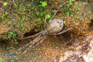 Comb-footed spider (Neopisinus sp.) - DSC_0760