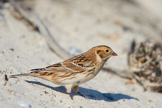 Spornammer, Lapland Bunting (Calcarius lapponicus) | by Michael Bräunicke