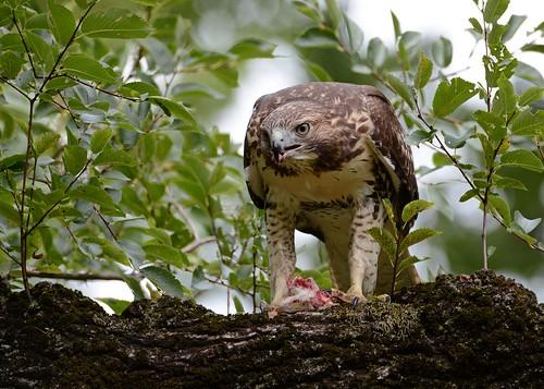 birds birdsofprey raptors hawks hawkredtailed redtailedhawk jdawildlife johnny nikon nikond7100 tamronsp150600mmf563divc rthachipmunkbreakfast newyorkbotanicalgardens wow explore explored