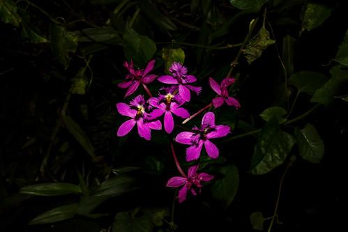 Epidendrum secundum   by Markus Branse