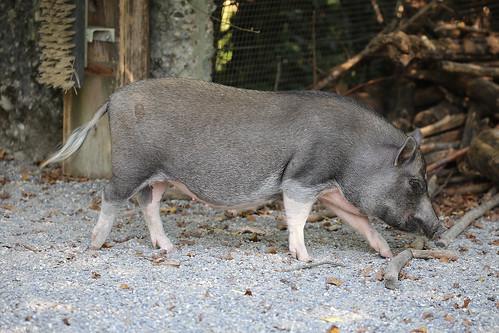 Schwein | by M. Oertle