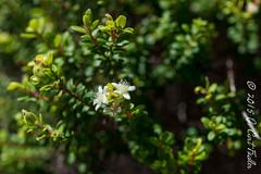Myrtella Flowers by umijin