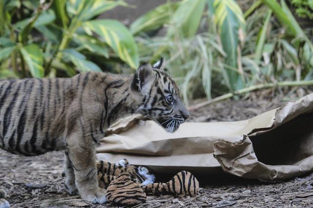 Suka, Baby Sumatran Tiger