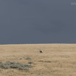 Pronghorn Antelope with Coyote