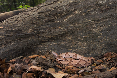 Southern Copperhead. South Louisiana, October 2016 | by rman2013