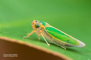 Leafhopper (Kolla sp.) - DSC_3073