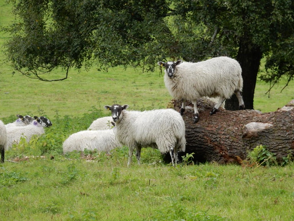 Sheep Now, these are sheep. Holmwood to Gomshall