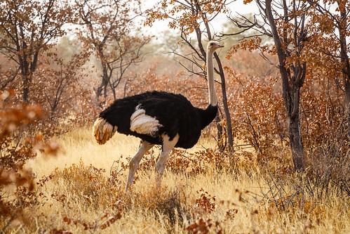 travel nature canon landscape desert na ostrich wilderness paysage namibia etosha autruche 6d sauvage namibie kunene jpmiss