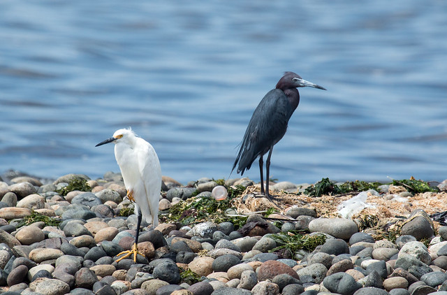 IMG_4689  Snowy Egret and Little Blue Heron
