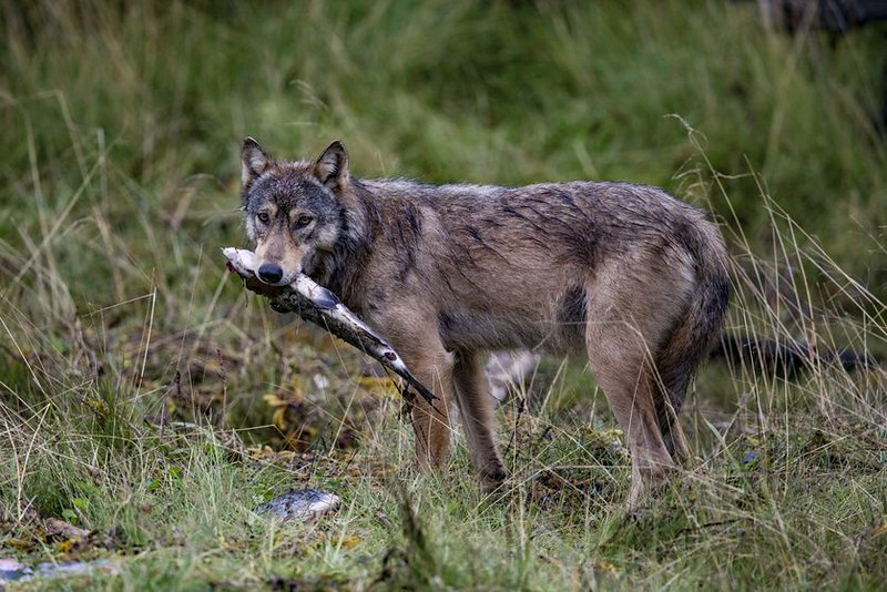 coastal-wolf-with-fish.jpg.838x0_q80