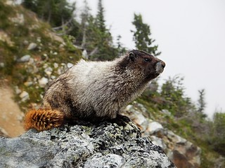 Marmot in Whistler | by pacoalfonso