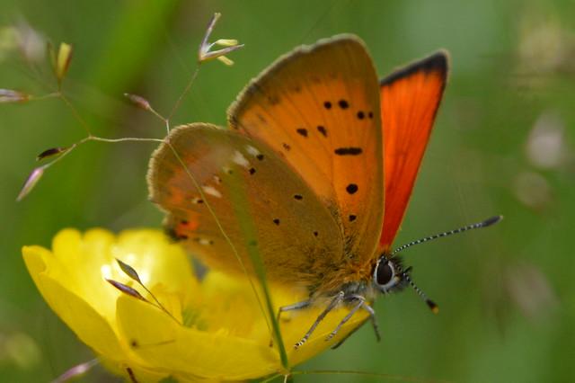 Lycaena virgaureae (scarce copper)