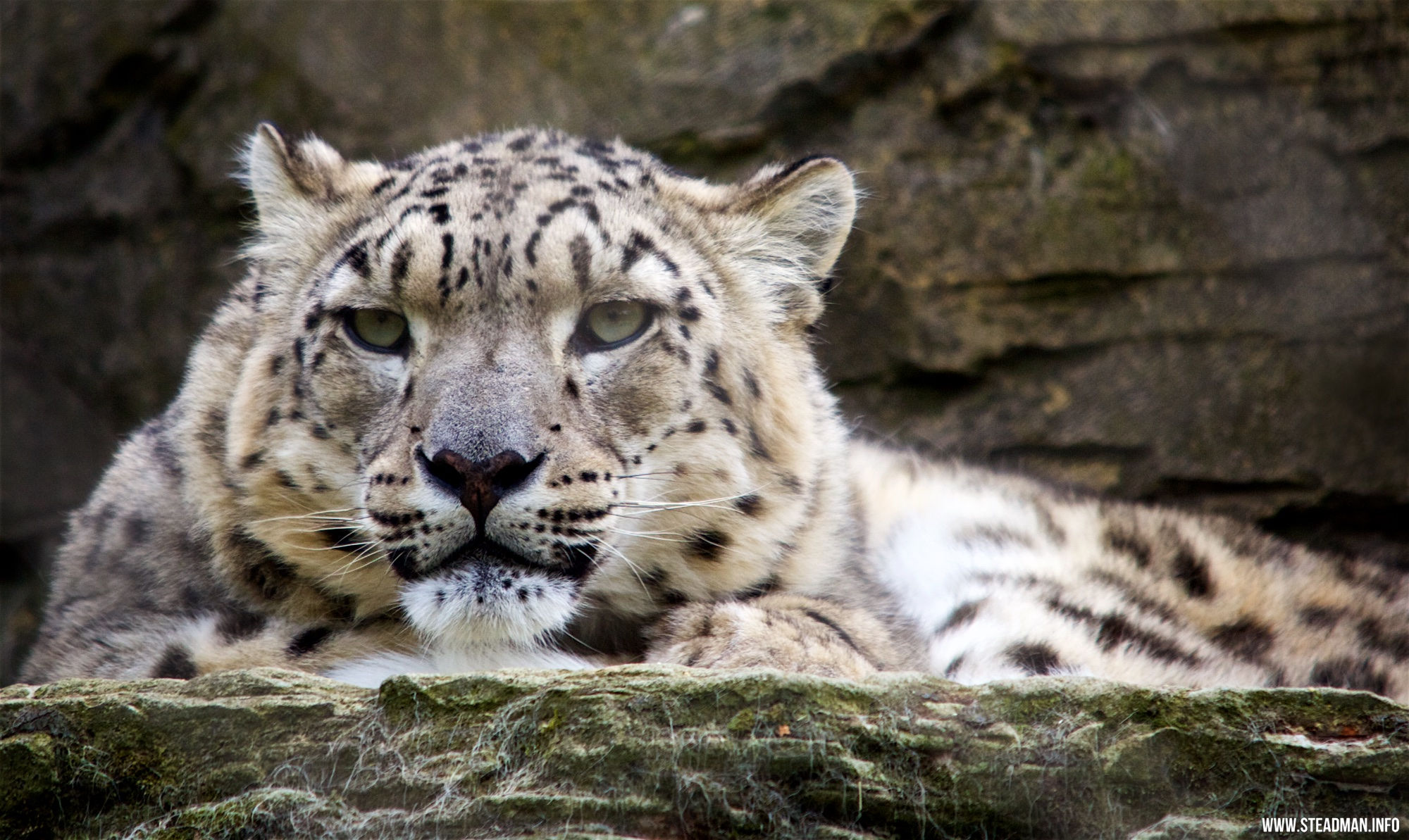 Marwell Zoo - Snow Leopard