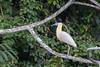 Capped Heron (Pilherodius pileatus) by Ron Winkler nature