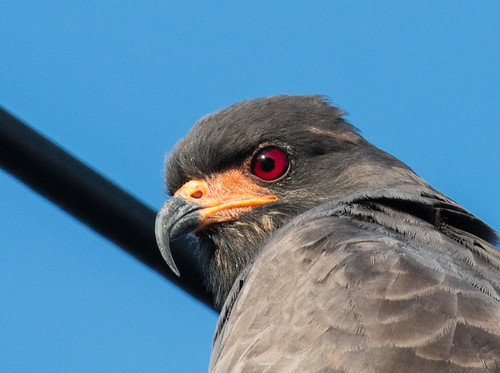 Snail Kite face