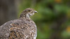 Dusky Grouse (Dendragapus obscurus) by George Wilkinson