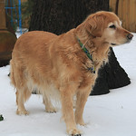 Prancer in her first snow of this winter